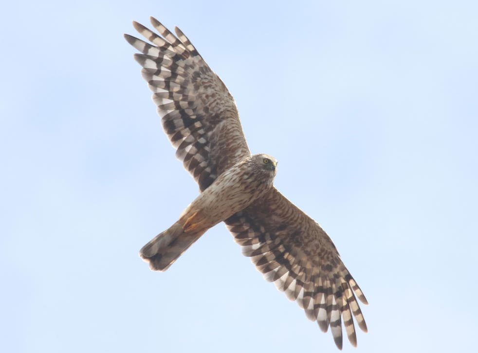 Hen harriers are known for their 'thrilling' skydance displays