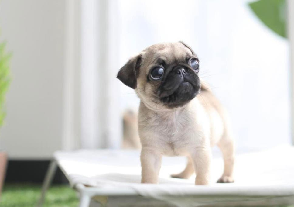 Dog Welfare Groups Warn Teacup Puppy Craze Is Harmful To