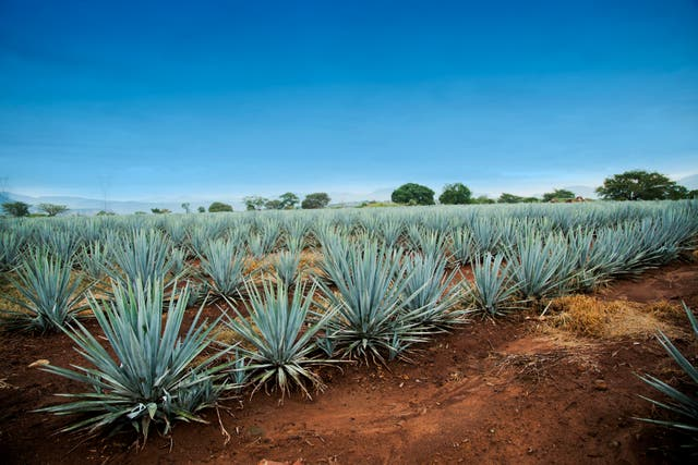 Weber blue agave from only five Mexican states can be used to make the drink