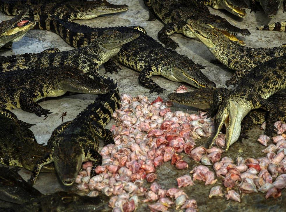 Crocodiles eat chicken heads at Sriracha Tiger Zoo in Chonburi province