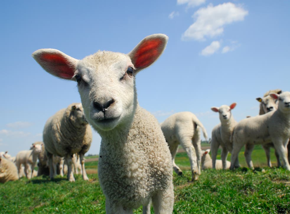 Nine men allegedly killed lamb for their barbecue