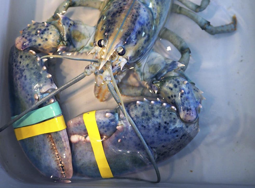 A rare blue lobster caught by local lobsterman Greg Ward on display at the Seacoast Science Center in Rye, New Hampshire