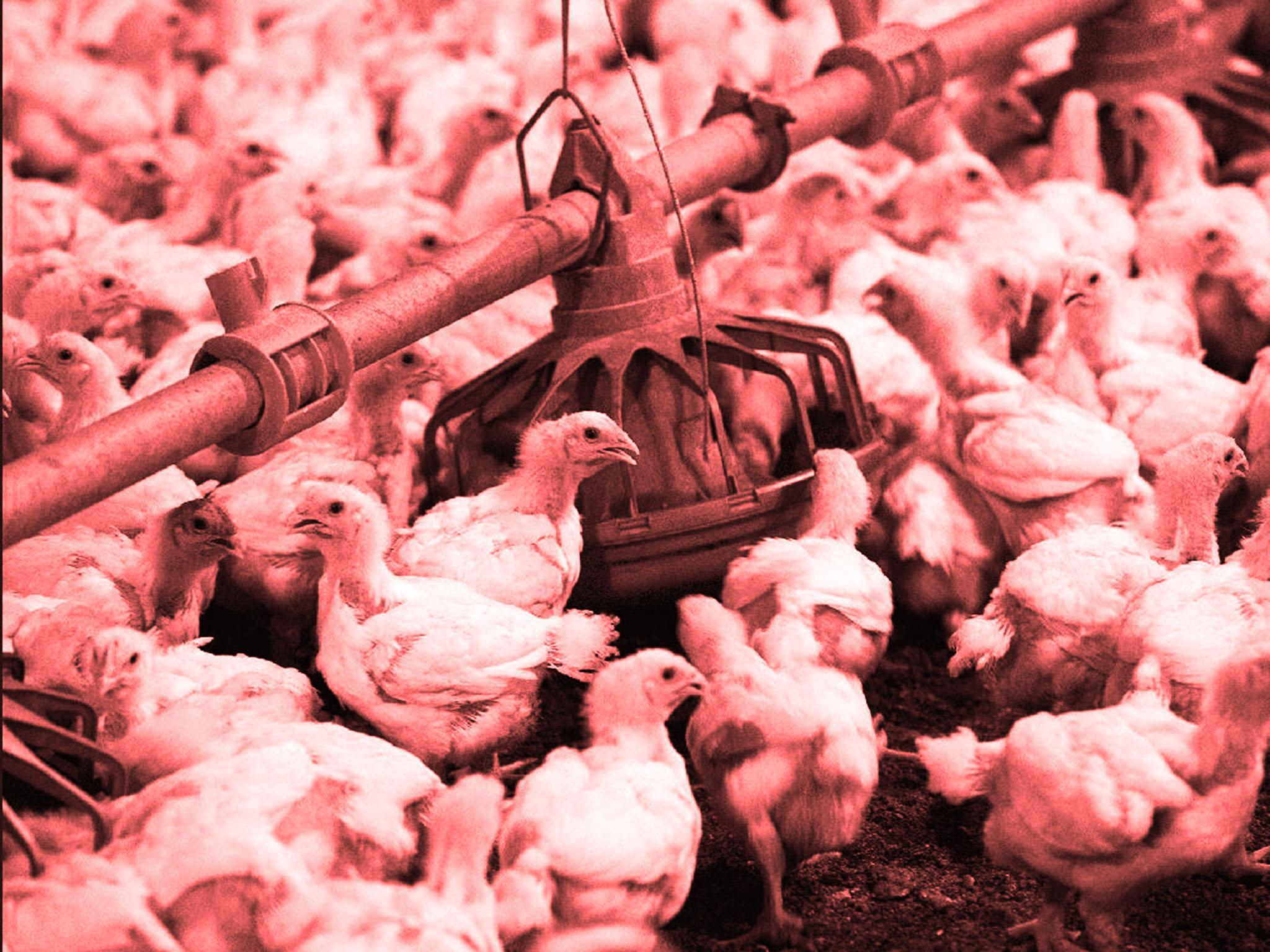 chlorinated chicken - photo #3