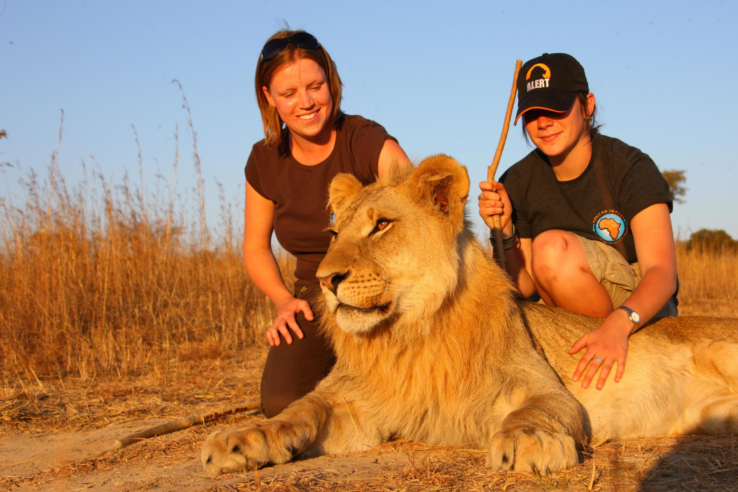 What it's like to walk with lions in Zimbabwe