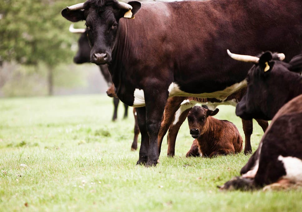 Why the most ethically farmed cows produce the tastiest meat | The