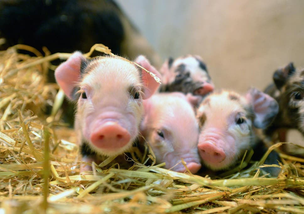 Pig Organs Could Soon Be Transplanted Into Humans After Major