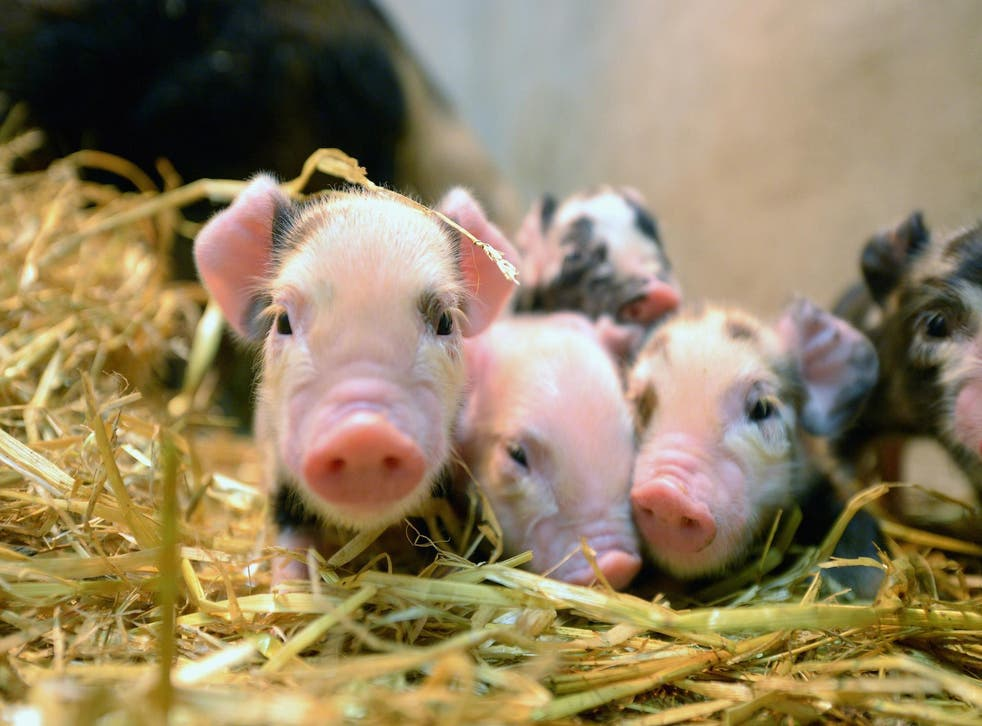 Pigs' organs are similar in size to ours and they can be bred easily in large numbers