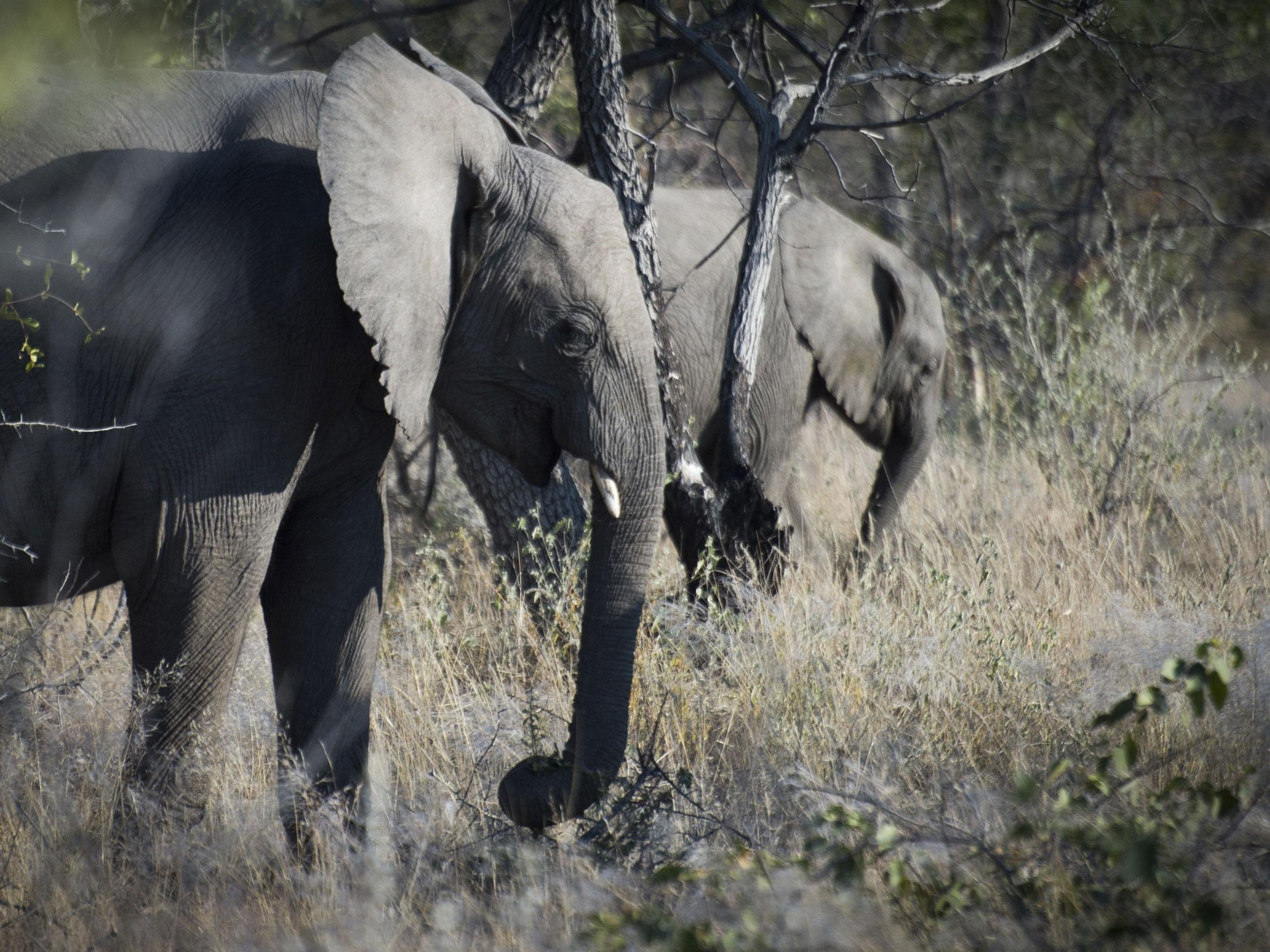 Big Game Hunter Trampled To Death By Elephant In Namibia  The Independent