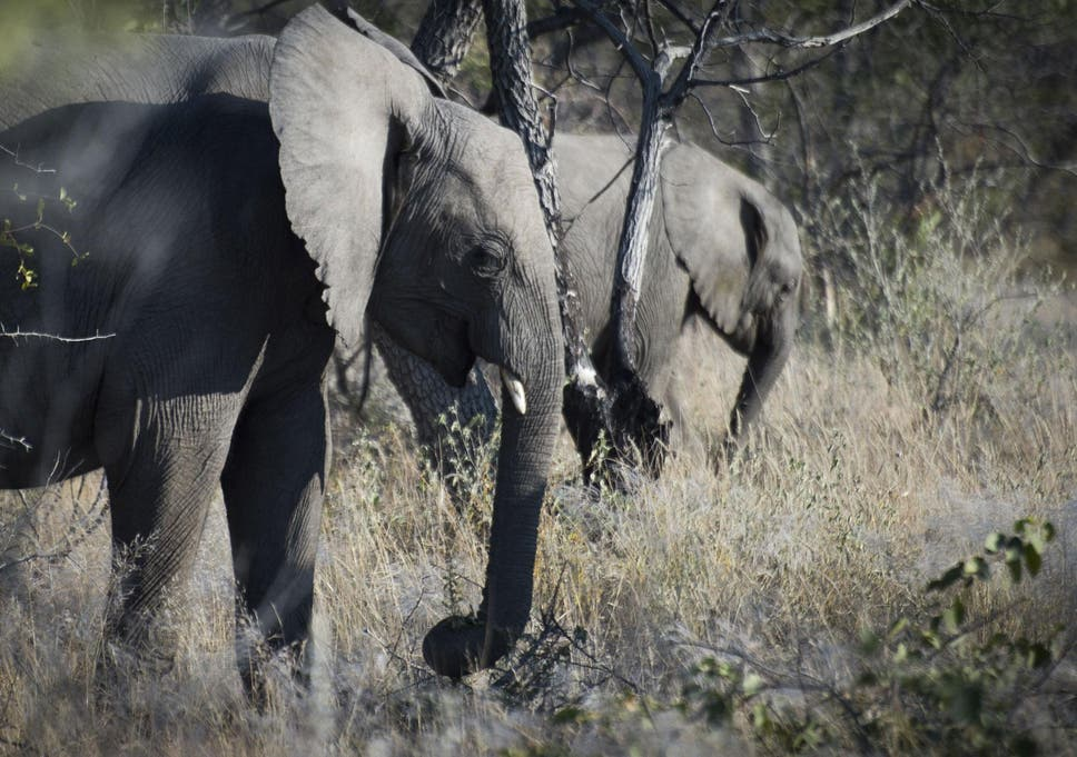Big Game Hunter Trampled To Death By Elephant In Namibia The