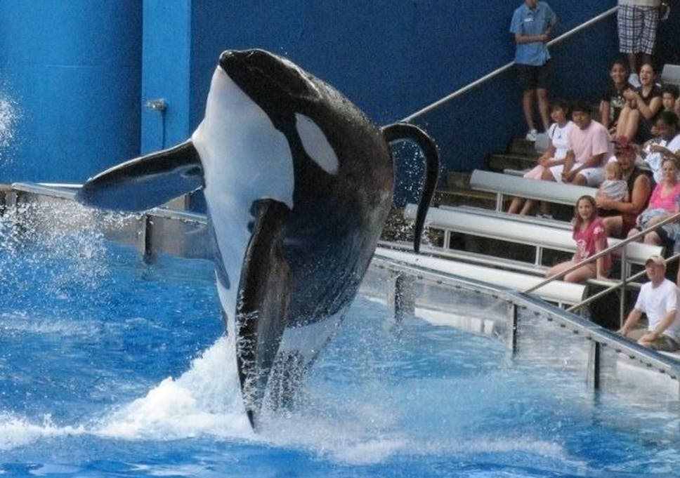Seaworld's killer whale Tilikum was involved in the deaths of three people