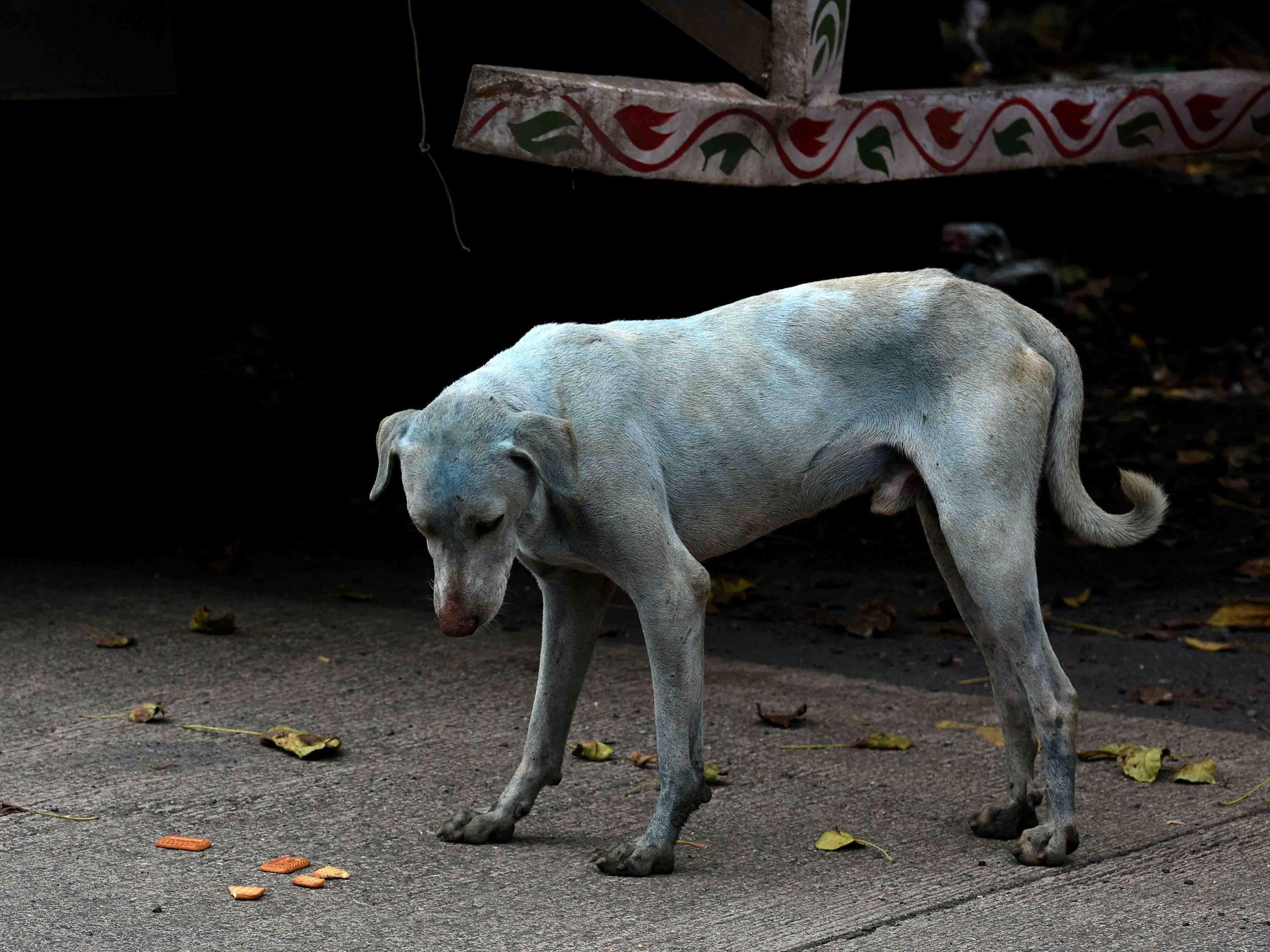 Mystery of the 'blue dogs of Mumbai' solved   The Independent