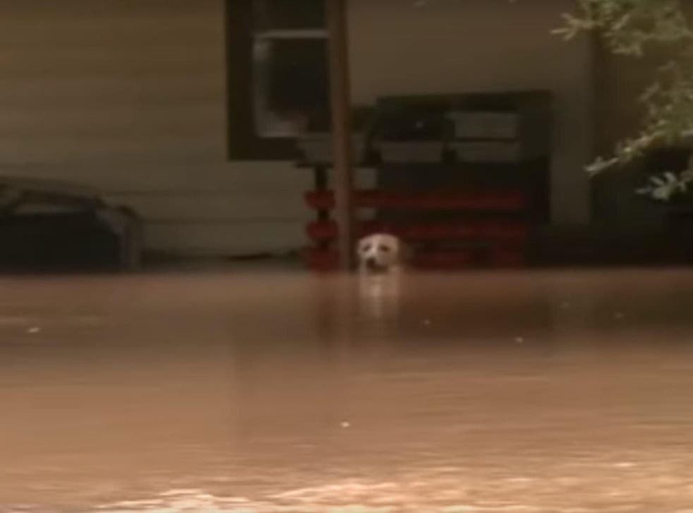 A dog tied up in Fort Bend Country, Texas, during flooding in 2016. It was later rescued.