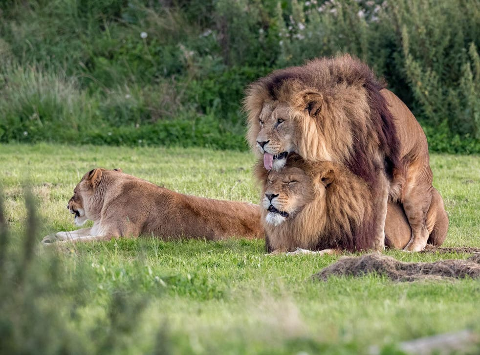 The lion on top sticks his tongue out as visitors to the wildlife park look on