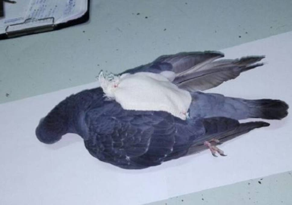 89442425862 Police became suspicious of the pigeon which had been flying in and out of  the Colonia