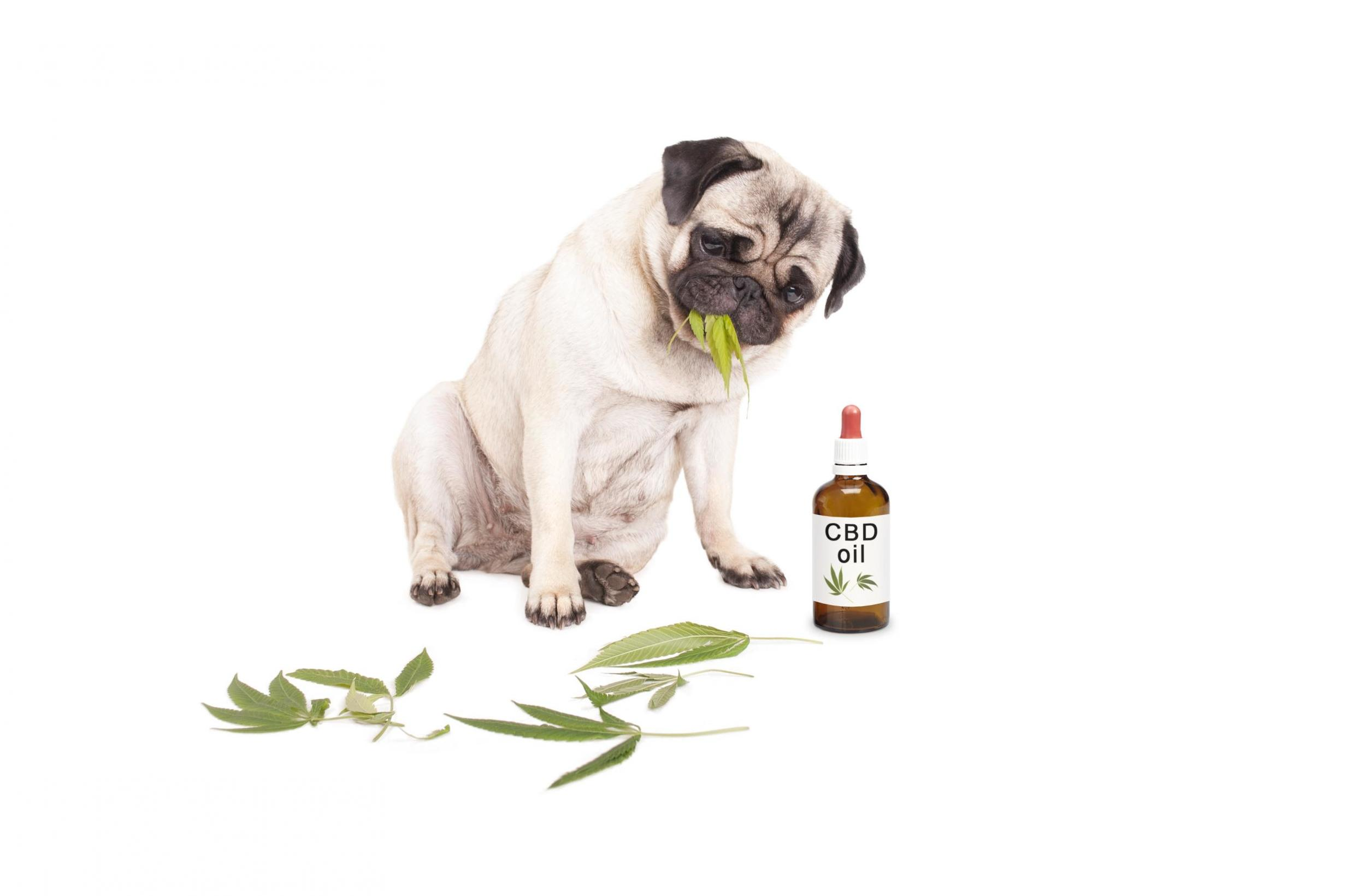 Why marijuana shouldn't be used to treat your pet's anxiety | The ...