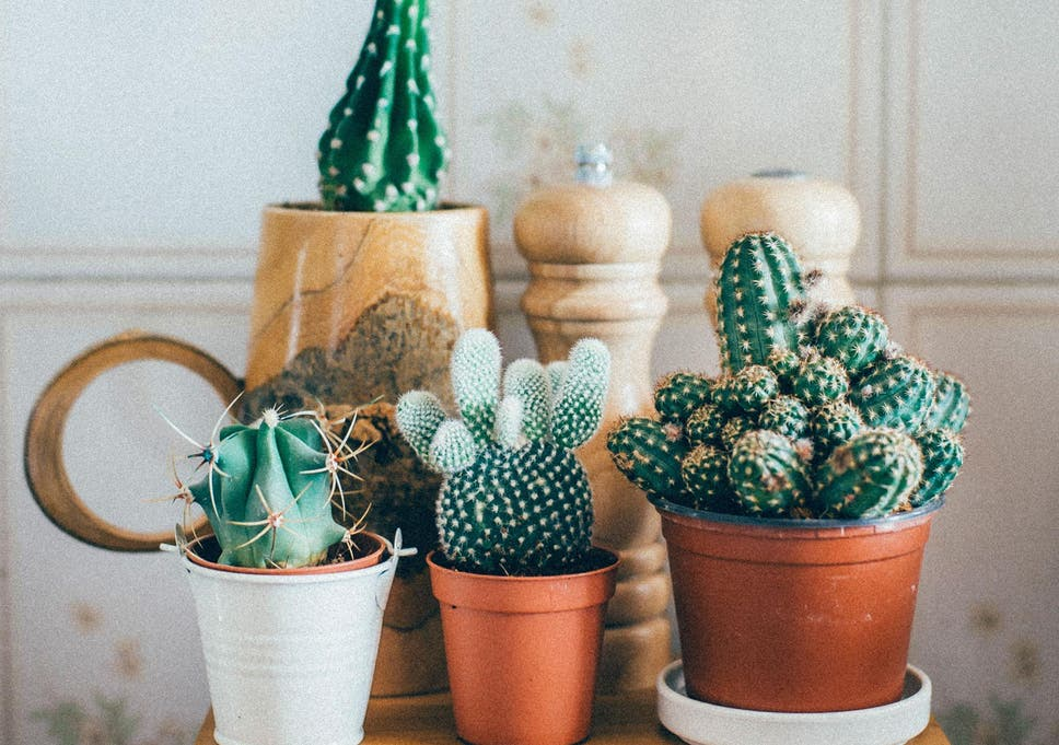 Millennials are obsessed with houseplants because they can't afford on hibiscus house plants, different types cactus plants, pruning cactus house plants, sunflower house plants, blooming cactus plants, tall house plants, flowering succulent plant identification, indoor plants, types of succulent plants, flower house plants, agave house plants, household cactus plants, angel house plants, watering cactus house plants, edible cactus house plants, common house plants, peach tree house plants, lilies house plants, yucca house plants, begonias house plants,
