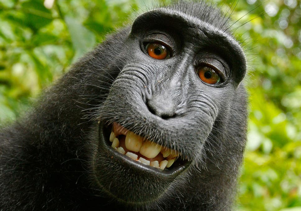 19c3a0fd0ad8  Monkey selfie  case  Photographer wins two year legal fight against Peta  over the image copyright