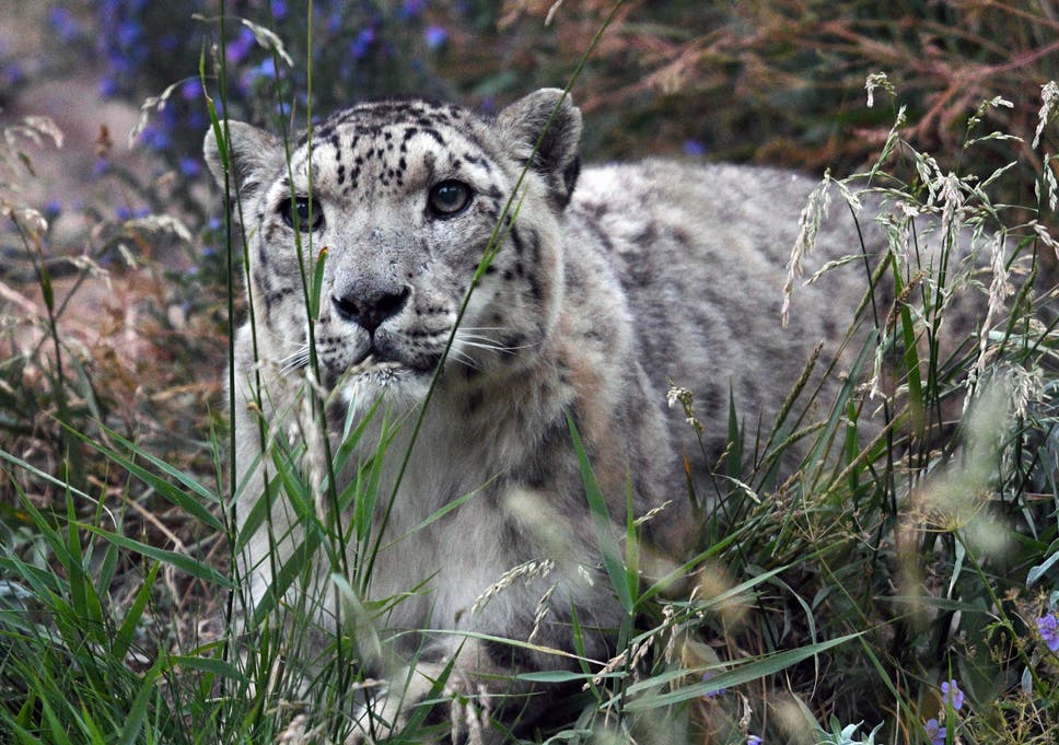 Snow leopards no longer endangered for first time in 45