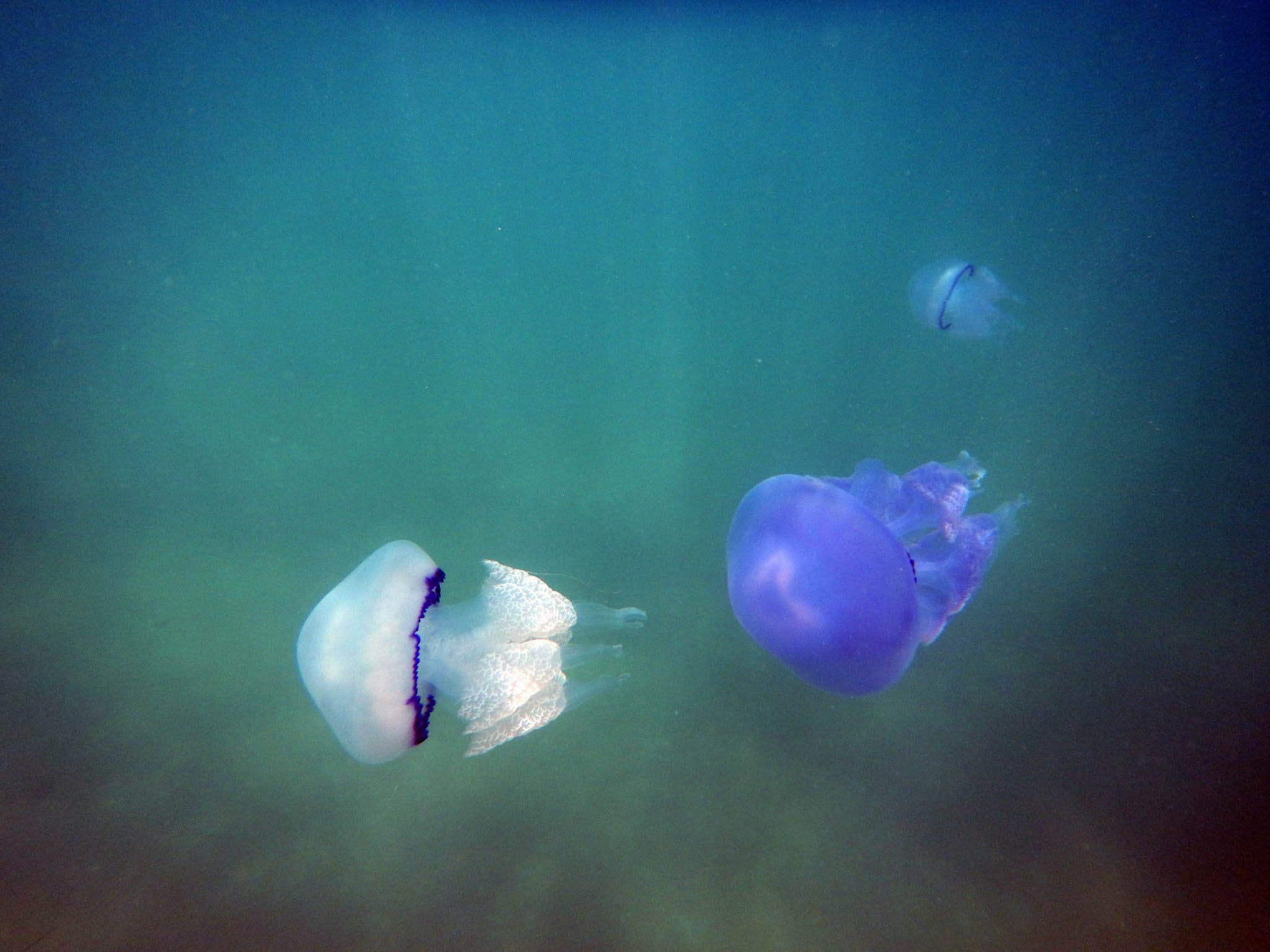 If you can't beat 'em, eat 'em: As jellyfish swarm the seas off