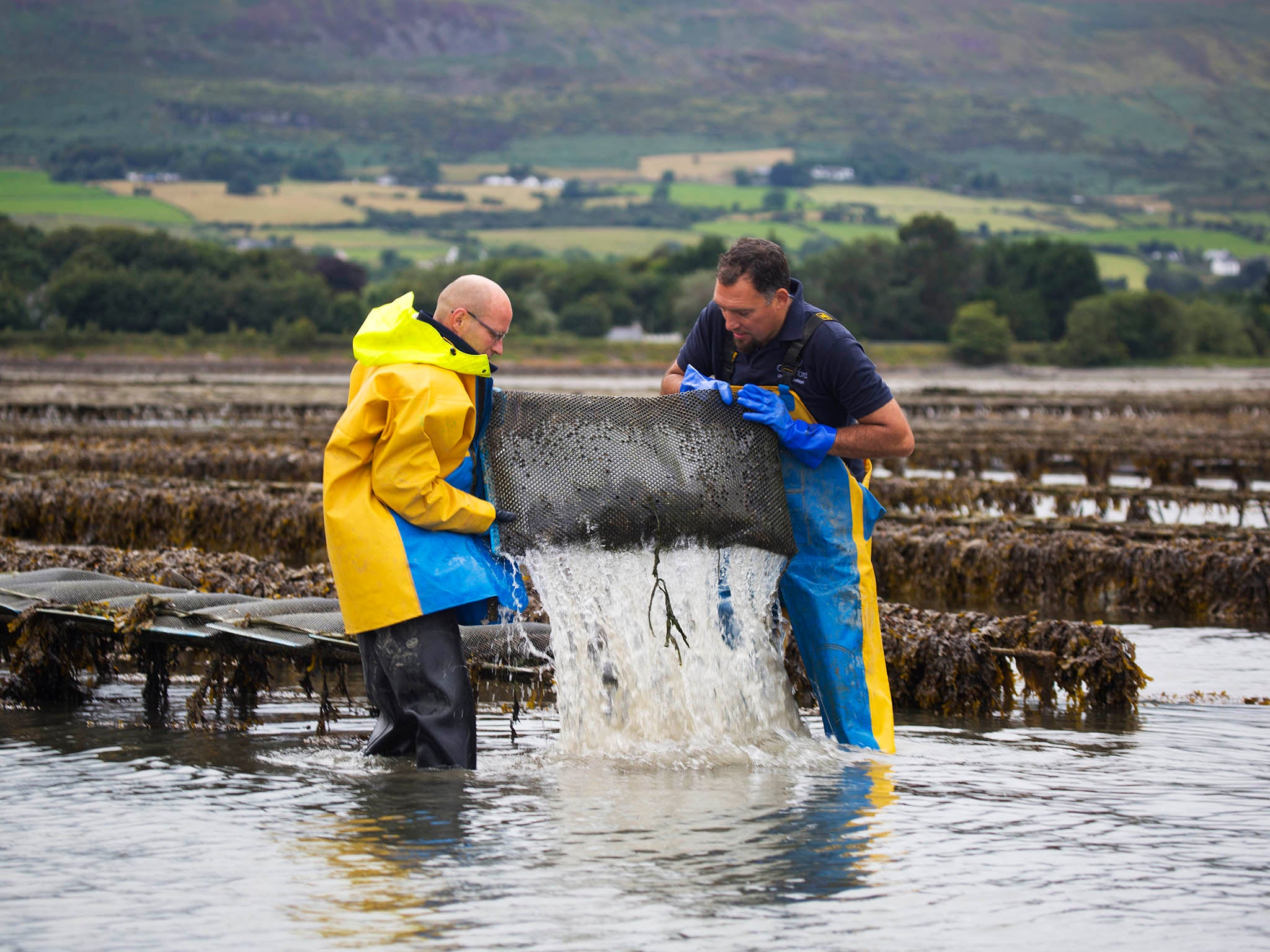 Why farming oysters is sustainable and good for the environment
