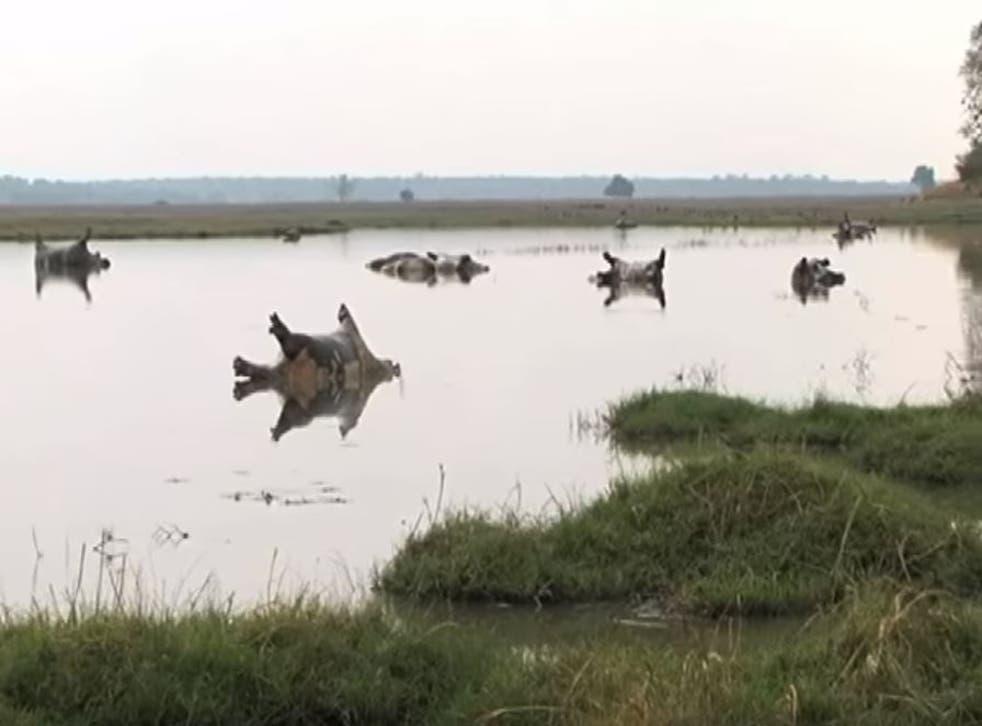 Suspected anthrax outbreak kills dozens of hippos