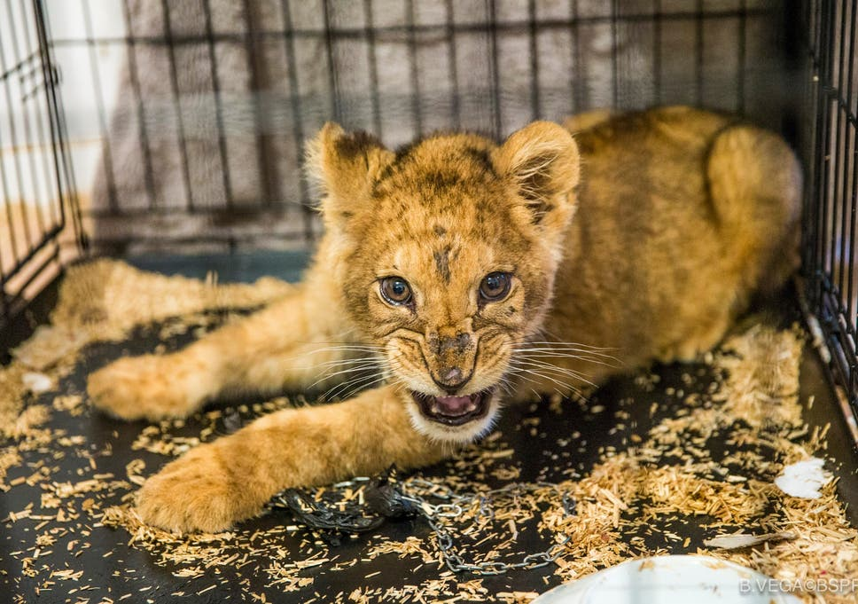 starved lion cub found in tiny cage in empty paris apartment the