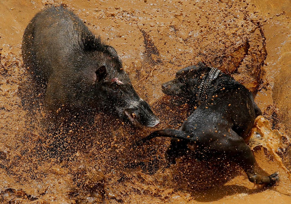 Dog vs wild boar fights in Indonesia prompt calls to end