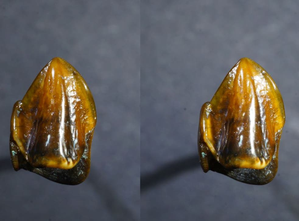 A canine tooth dating back 9.7 million years found in an old riverbed near Mainz