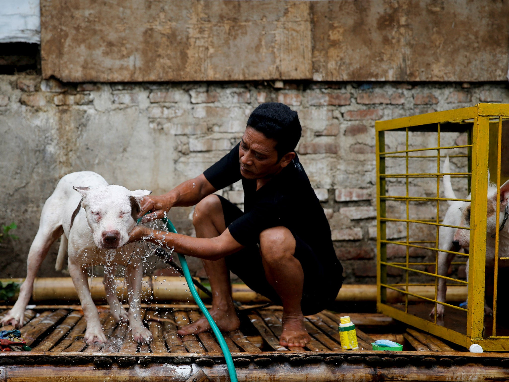 Indonesian villages pit wild boars against dogs | The