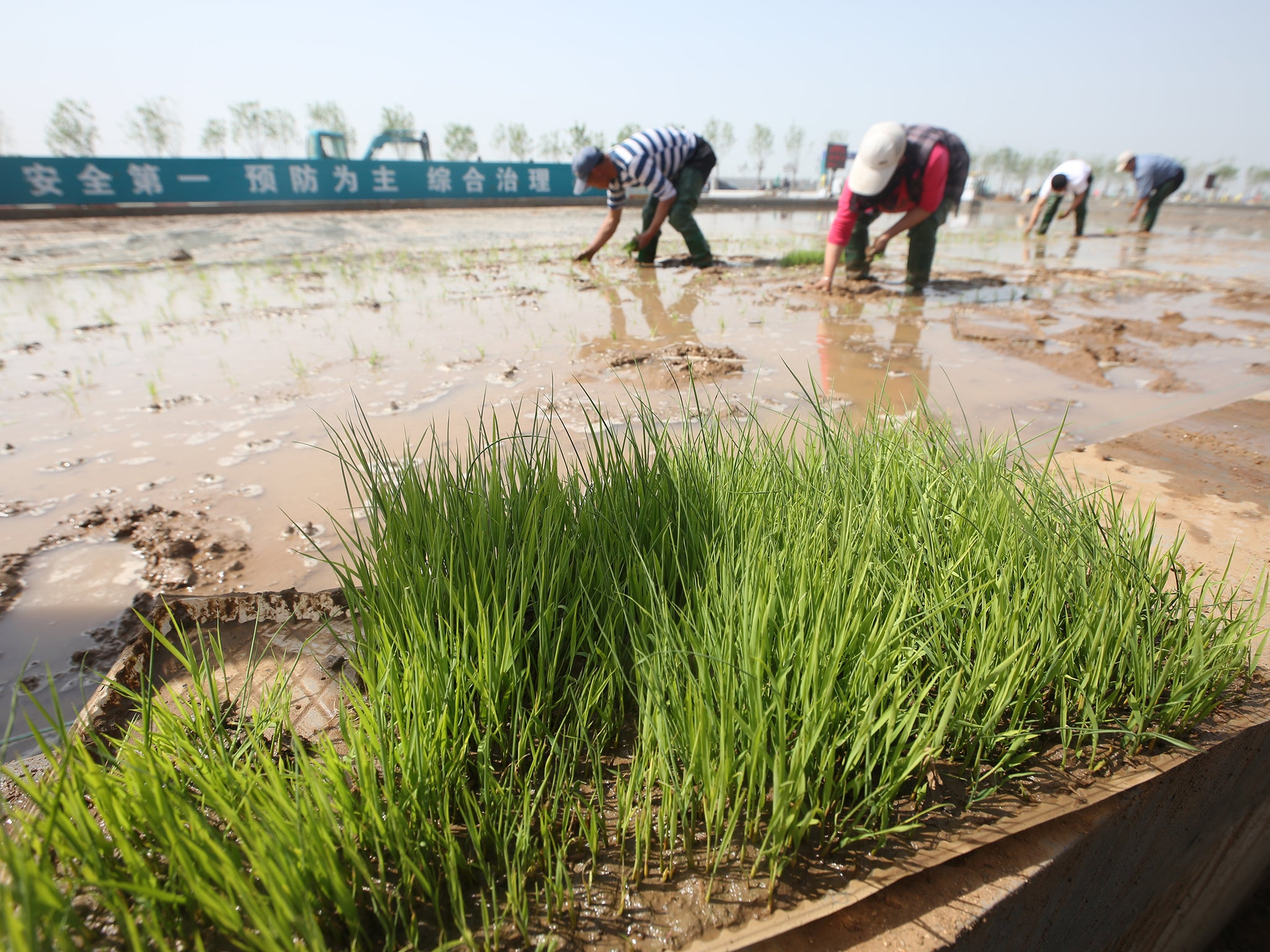 Chinese Scientists Develop Rice That Can Grow In Seawater