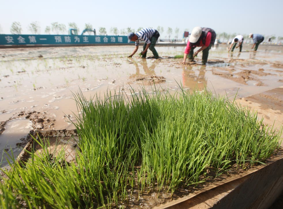 Scientists have been trying for decades to get rice to grow successfully in salty water