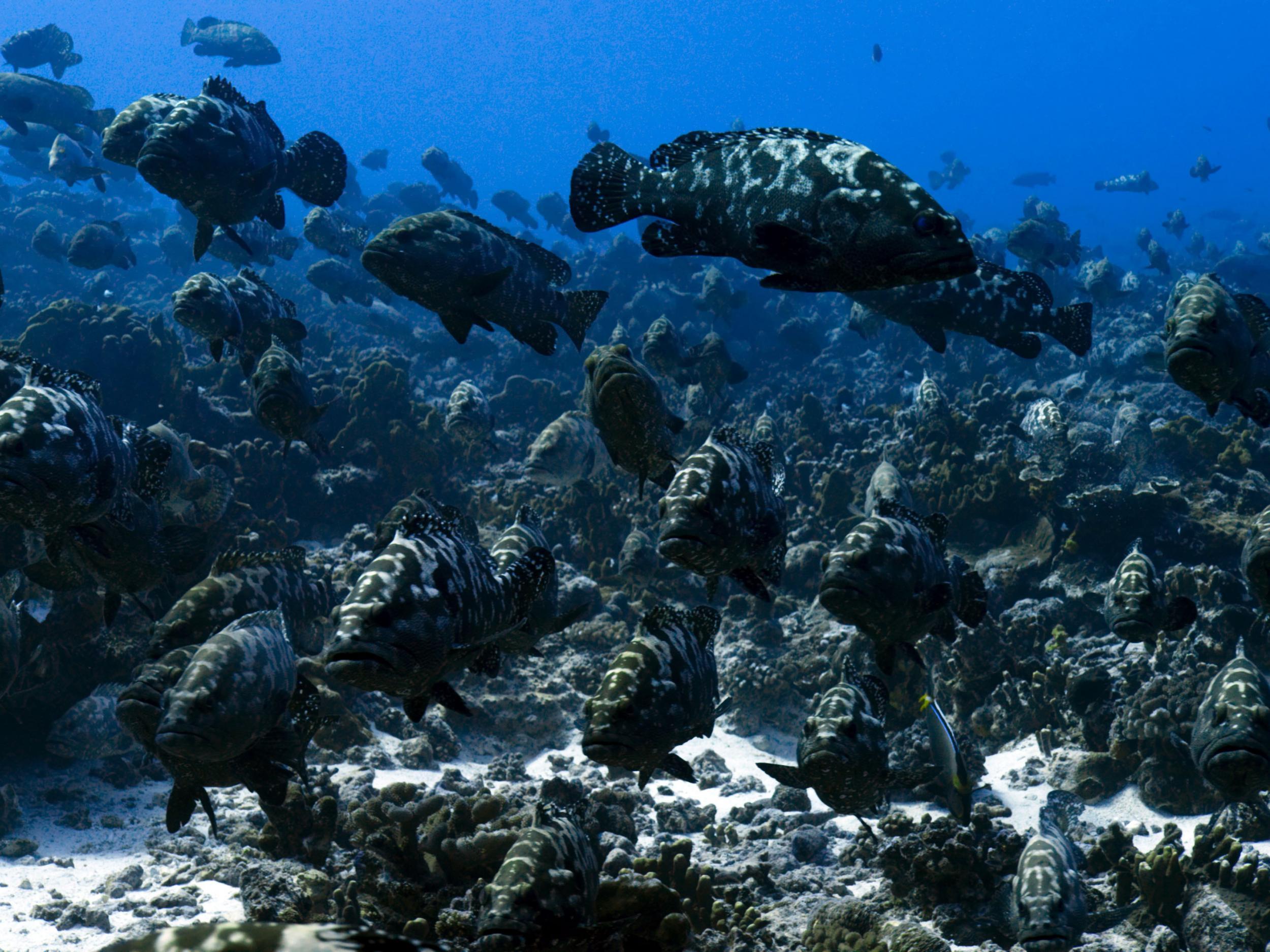An aggregation of marbled grouper (Epinephelus polyphekadion), French Polynesia