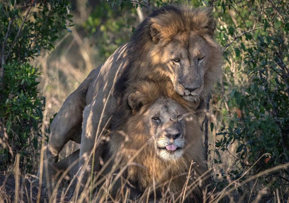Two male lions seen in gay sexual encounter in Kenyan