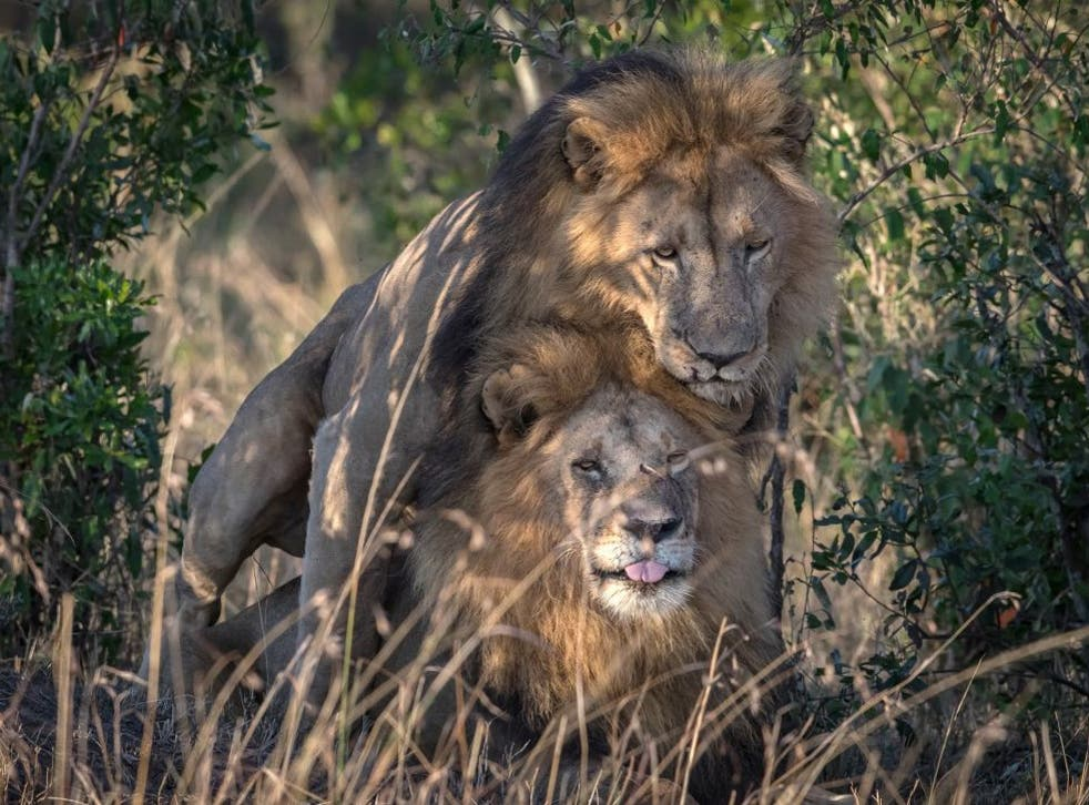 A wildlife photographer has captured a remarkable gay encounter between adult male lions.