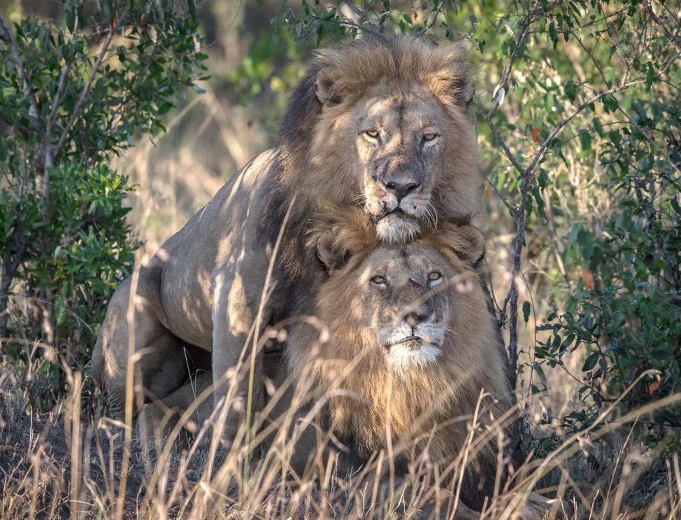 Two male lions seen in gay sexual encounter in Kenyan national park