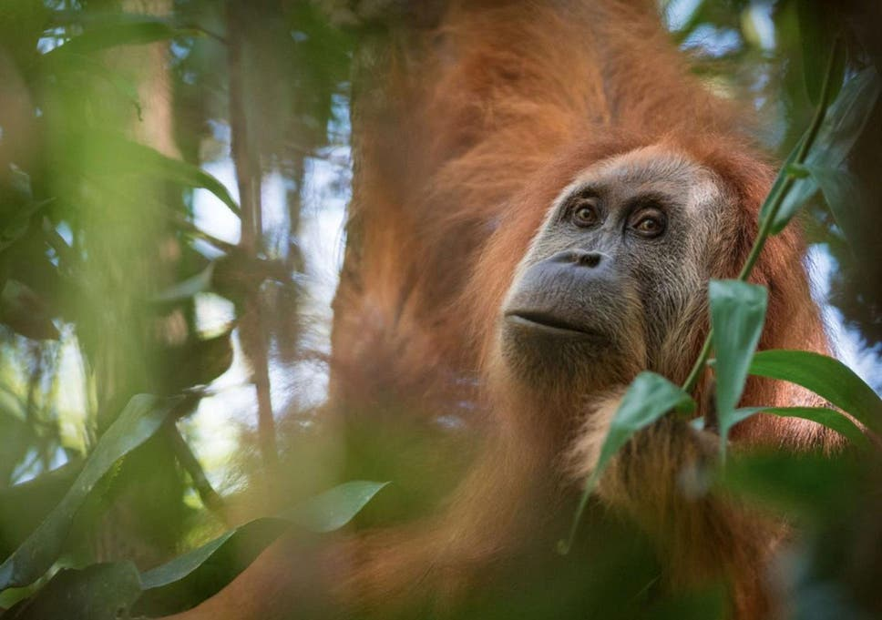 Image of: Borneo Pongo Tapanuliensis Was Originally Considered To Be Part Of The Sumatran Orangutan Population The Independent Scientists Find New Orangutan And It Is Already The Most Endangered
