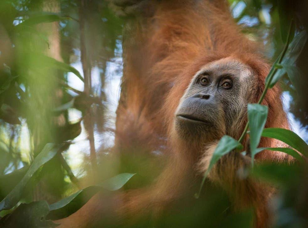 Pongo tapanuliensis was originally considered to be part of the Sumatran orangutan population