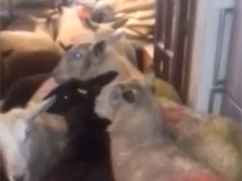 Sheepdog puppy leads flock of sheep into owners' house