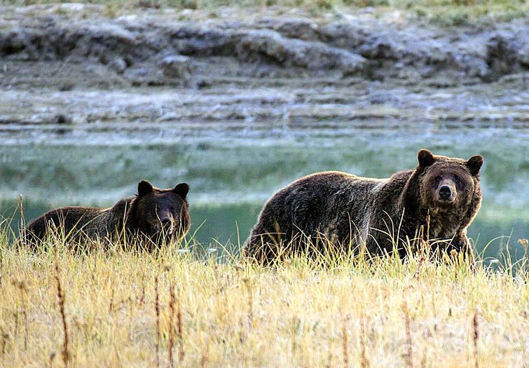 Yellowstone grizzlies may soon commingle with northern cousins | The Independentindependent_brand_ident_LOGOUntitled