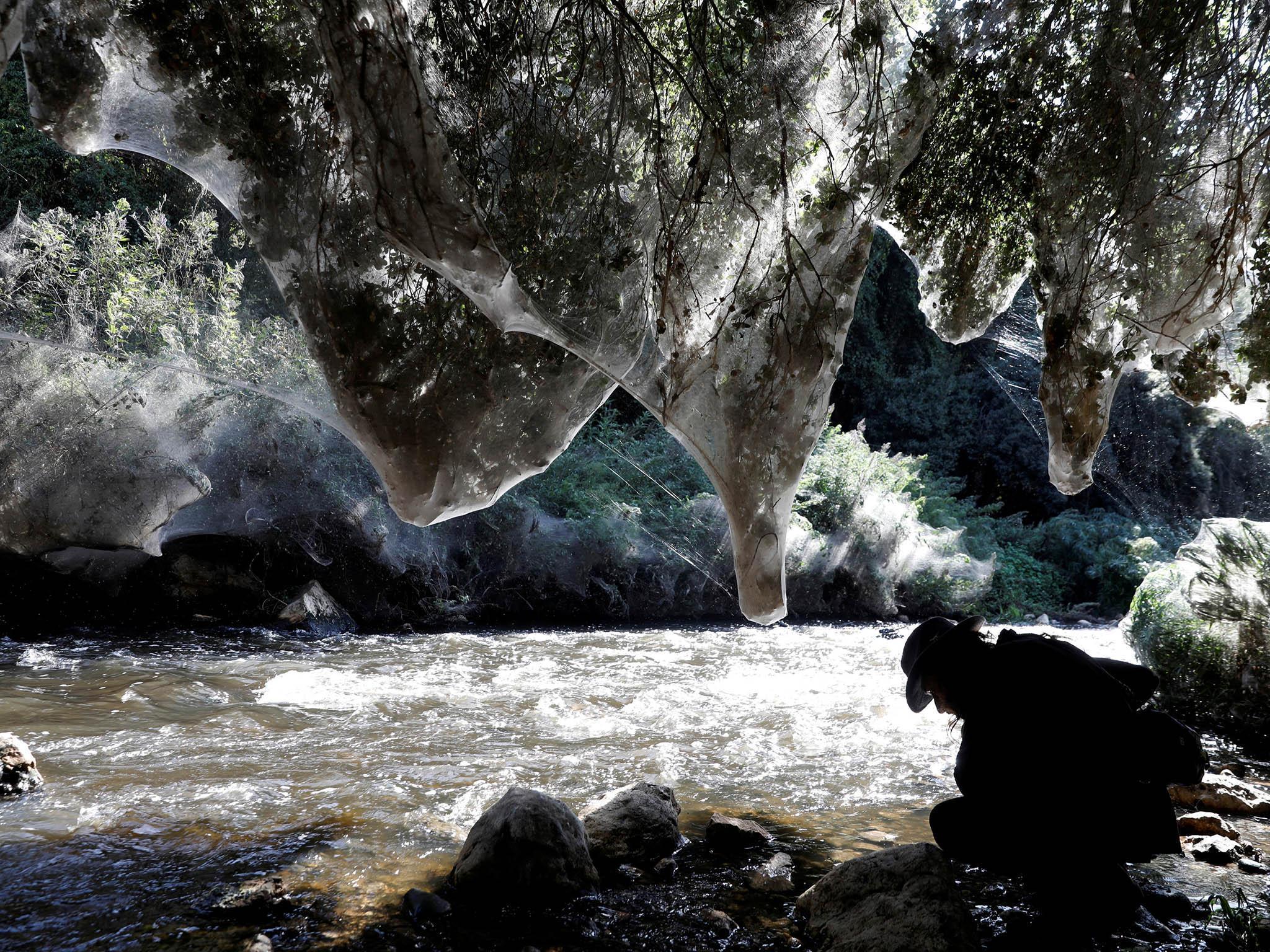 Spellbinding giant spider webs discovered in Jerusalem forest   The Independentindependent_brand_ident_LOGOUntitled