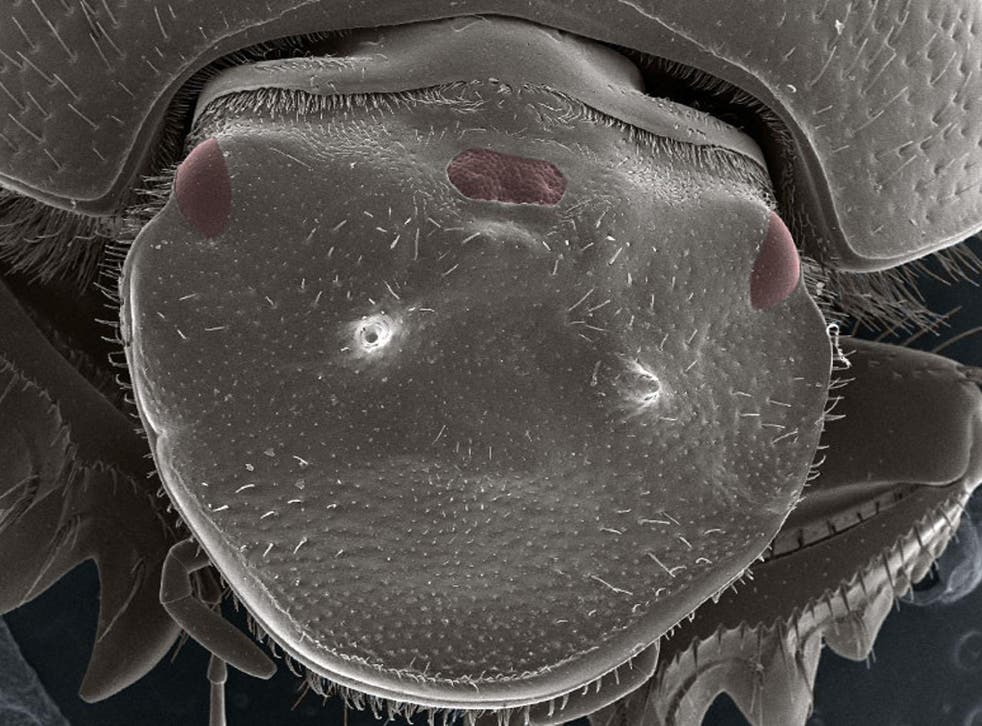 The beetle has an extra eye in the middle of its head