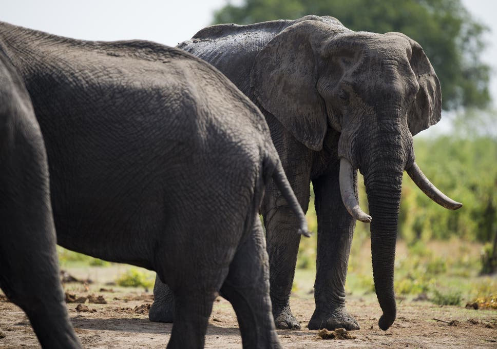 63a20535812e7f Donald Trump lifts ban on importing elephant hunt trophies from ...