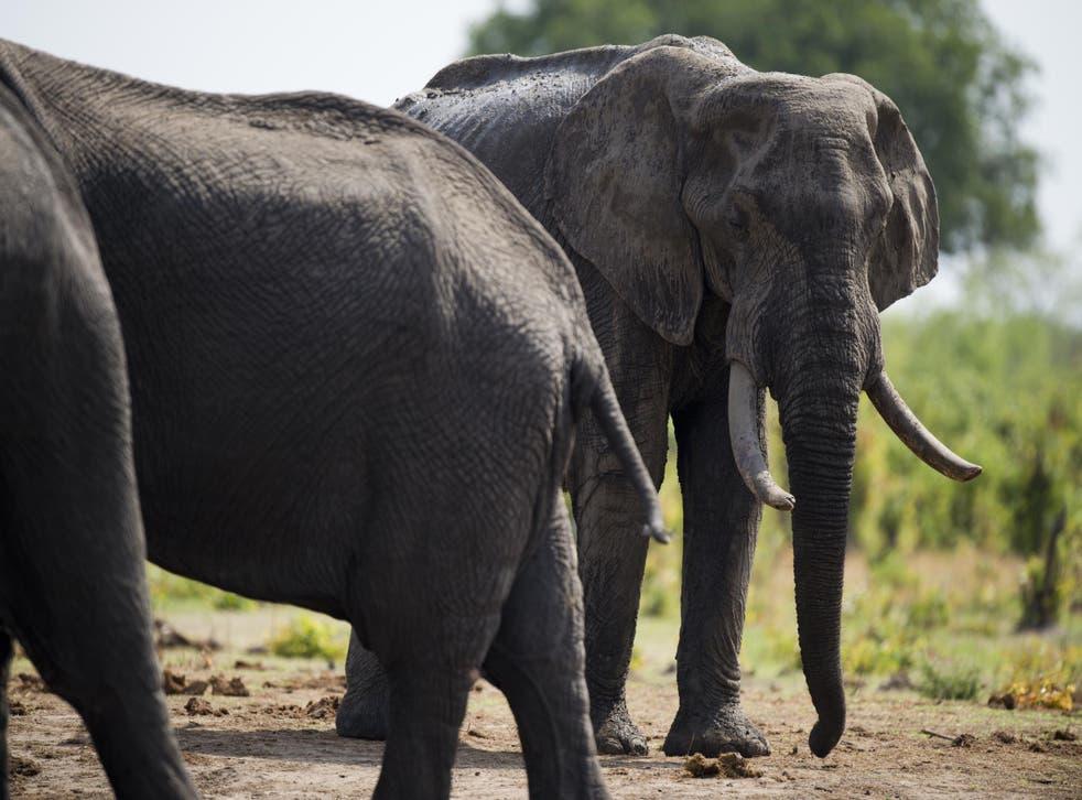 African elephants in Zimbabwe's Hwange National Park