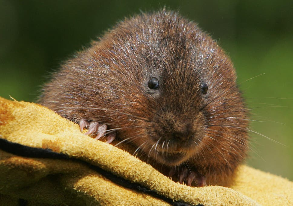 Voles' relationships suffer when males drink while the females remain sober