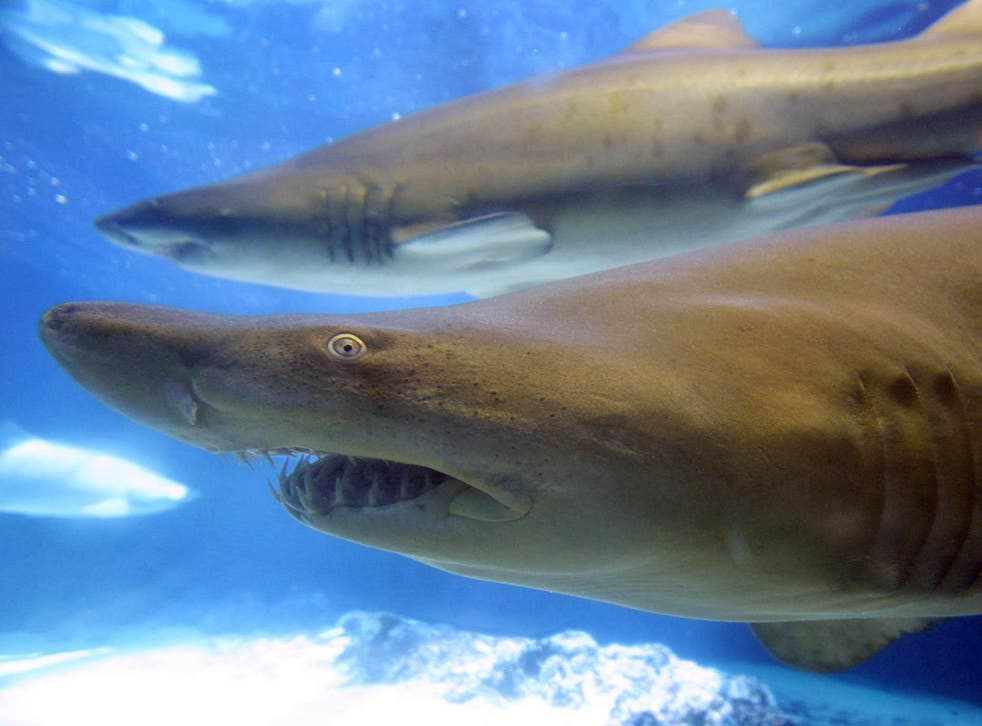 The spiky scales of sharks hold clues about the origin of teeth