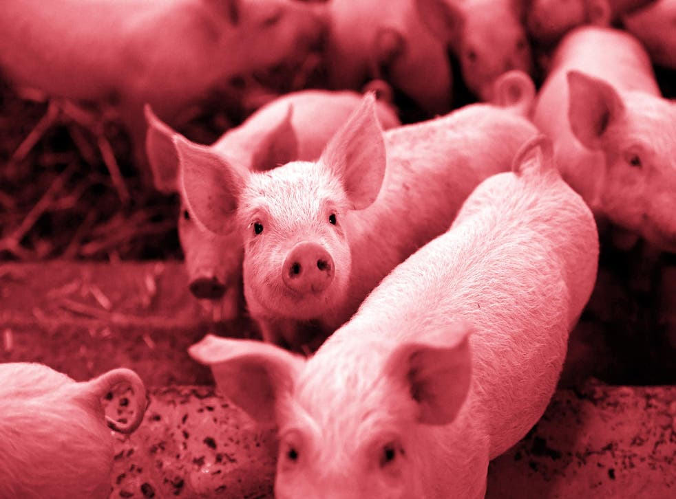 """A picture taken in Plelo, western France, on November 10, 2017 shows piglets on straw in a """"porc sur paille"""" sty"""