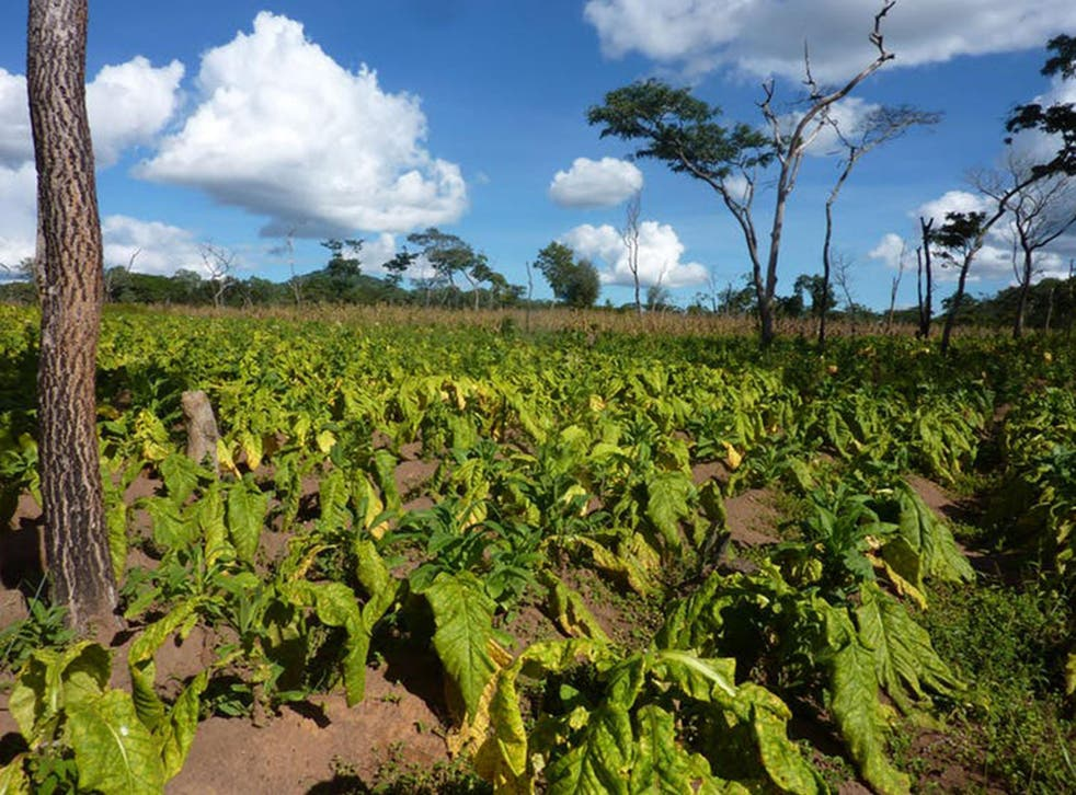 There are few crops people can grow in rural Tanzania to make money and the dominant one is tobacco