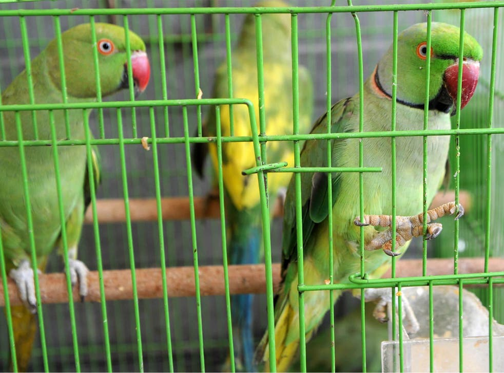 Parakeets now have establised wild populations in the UK after first being imported as pets