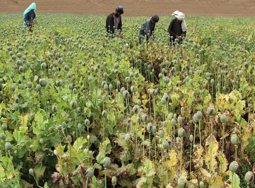 Afghan farmers work on a poppy field in the Gereshk district of Helmand province