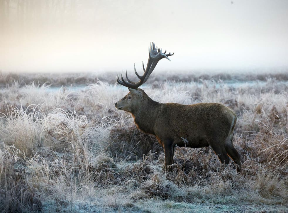 Cold snap warning: A deer in frost-covered grass in Richmond Park, south west London